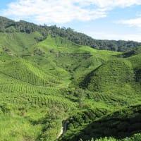 Day Trip to Cameron Highland's Tea Plantations