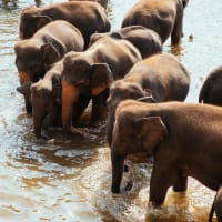 Unique Bathing with Elephants Experience