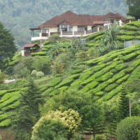 Cameron Highlands with a Local