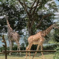Singapore Zoo and Local Food Tour