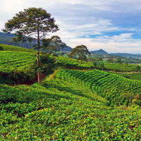 Erotic Temple & tea Plantation