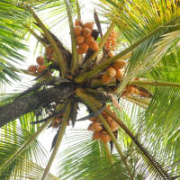 Tap rubber, pluck tea + coconuts in an estate