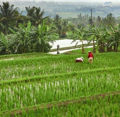 Trekking Jatiluwih Rice Terrace Bali Withlocals
